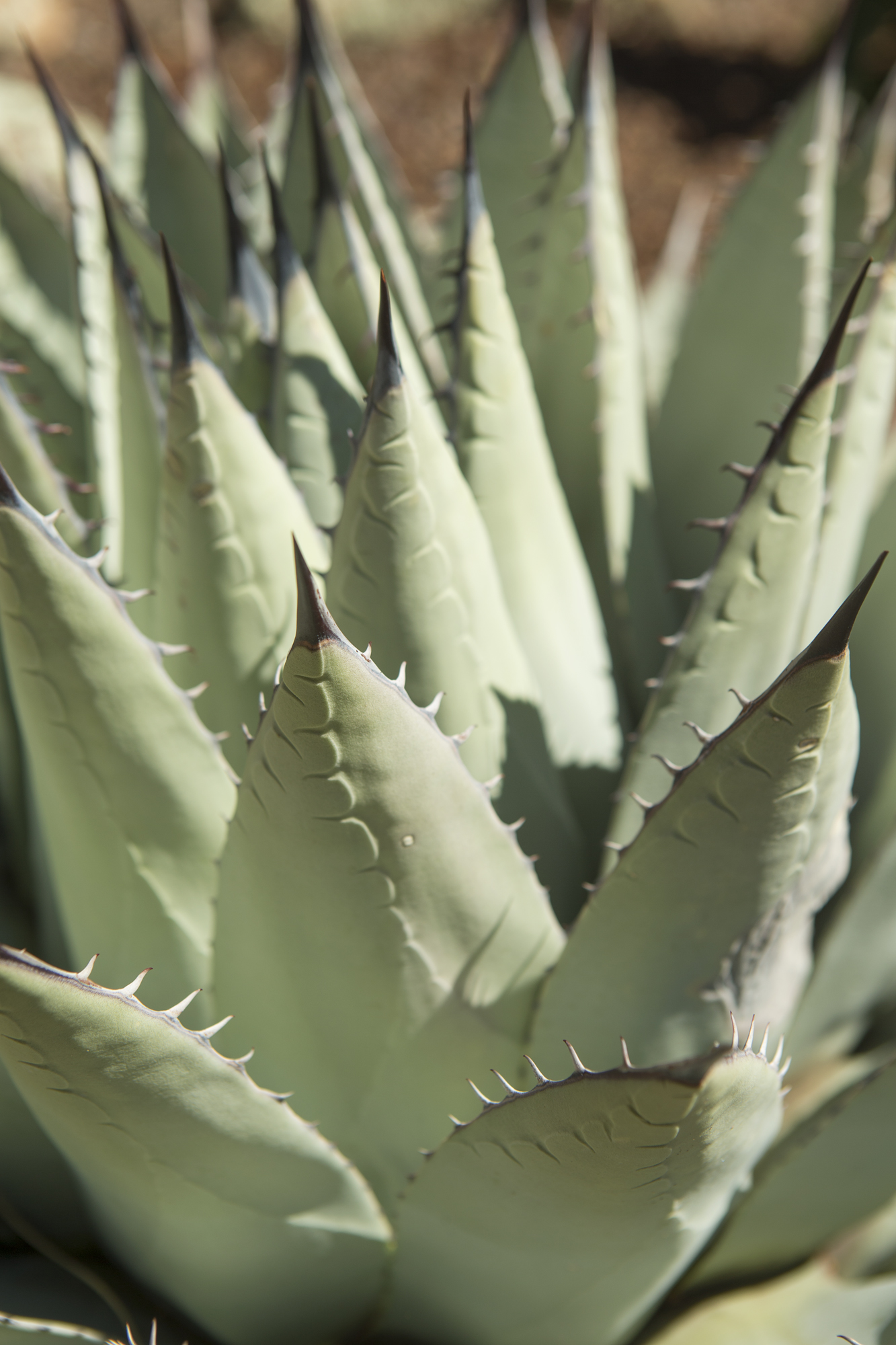 Blue Agave detail