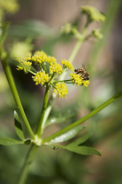 Mustard green flower