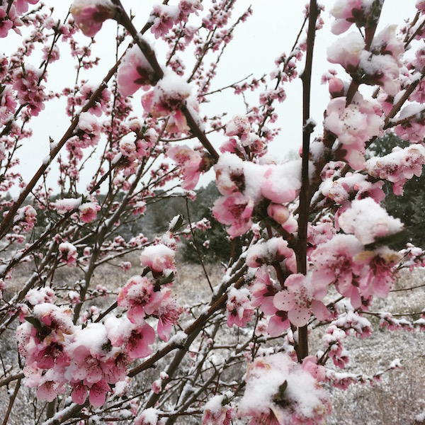 Peach tree with spring snow