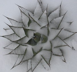 Agave with snow sm
