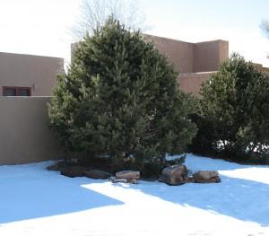 pinon pine sm