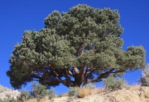 Pinyon pine
