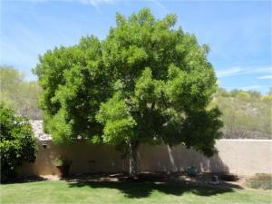 Arizona Ash 1