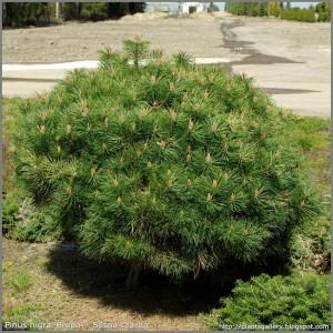 Dwarf Austrian pine shrub Pierrick Bergeon